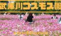 武庫川コスモス園2019の日程|見頃や開花状況、駐車場やアクセス情報も